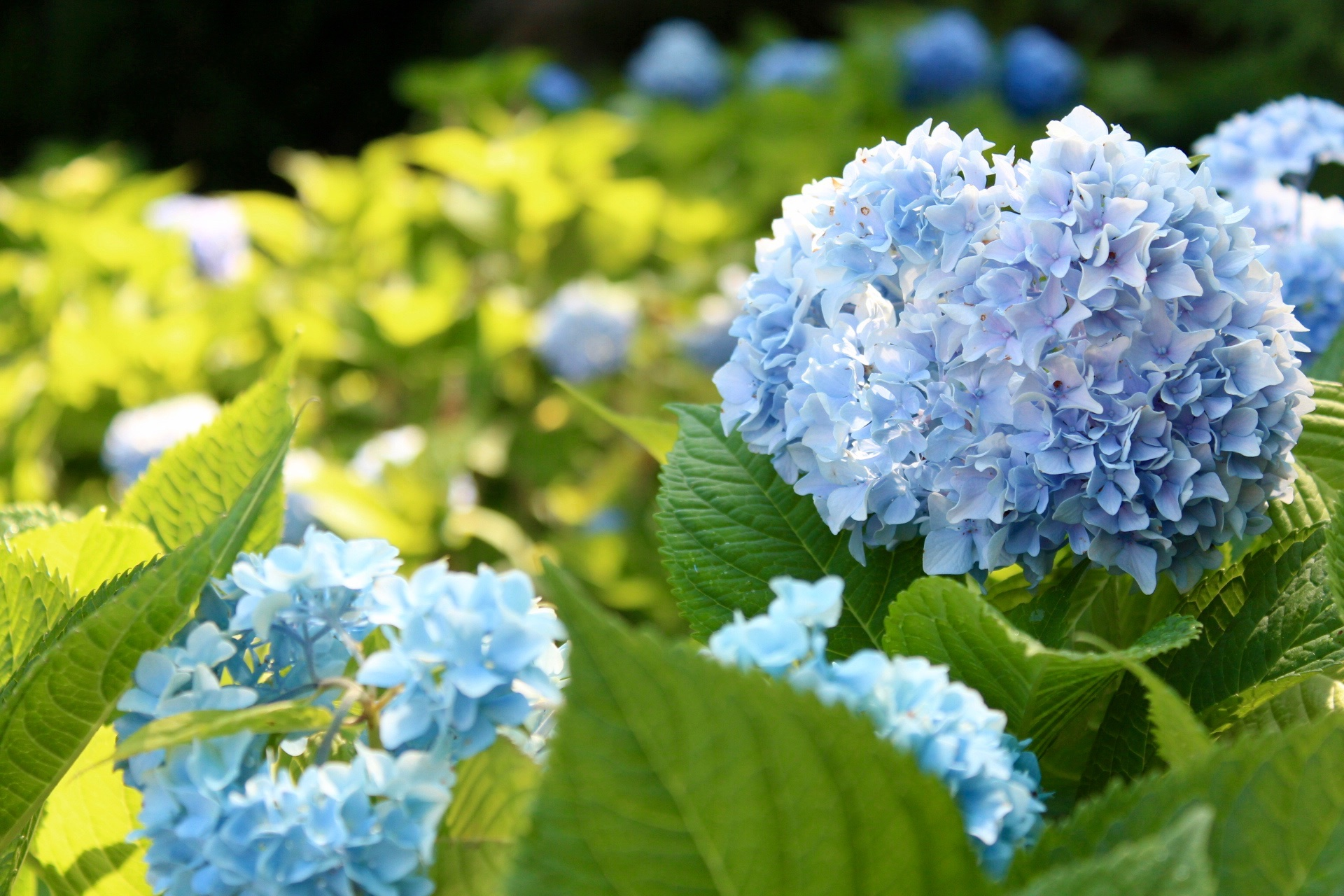 Chatham Home Blue Hydrangeas in Bloom
