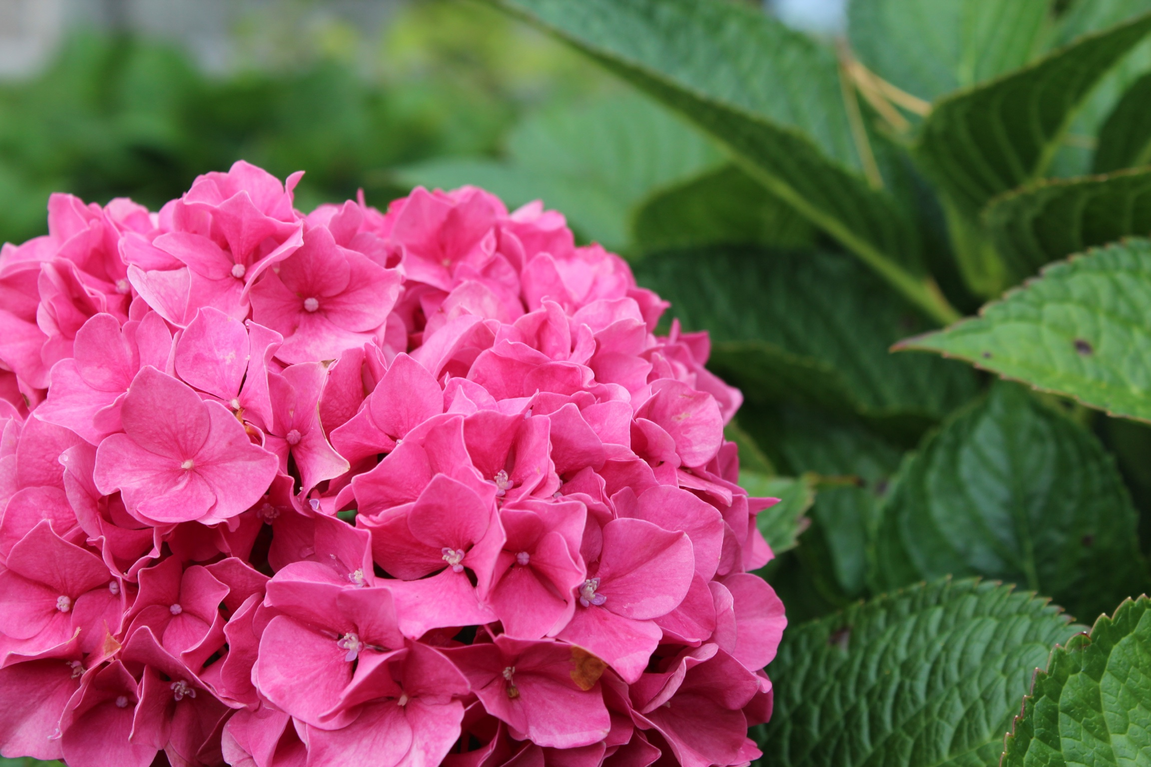 Chatham Home Pink Hydrangeas in Bloom